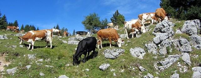 mucche c