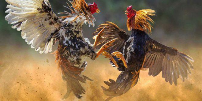 combattimento galli