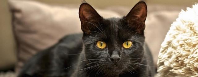 gatto-nero c